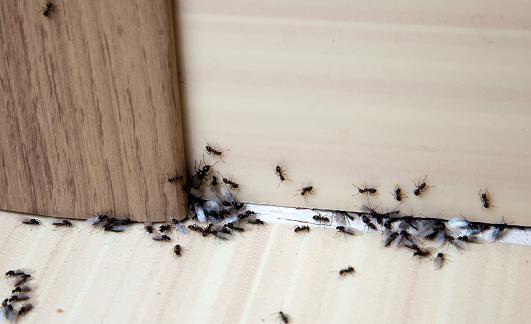 mravenci v bytě